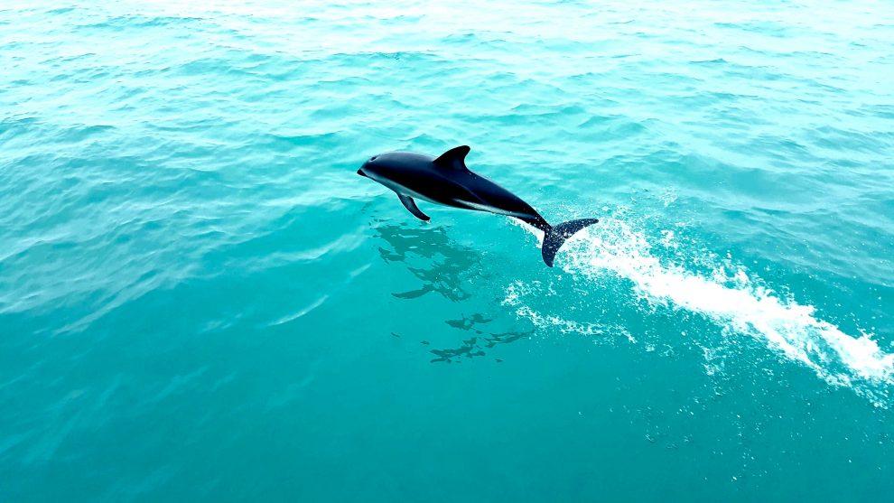 dauphins nouvelle-zélande