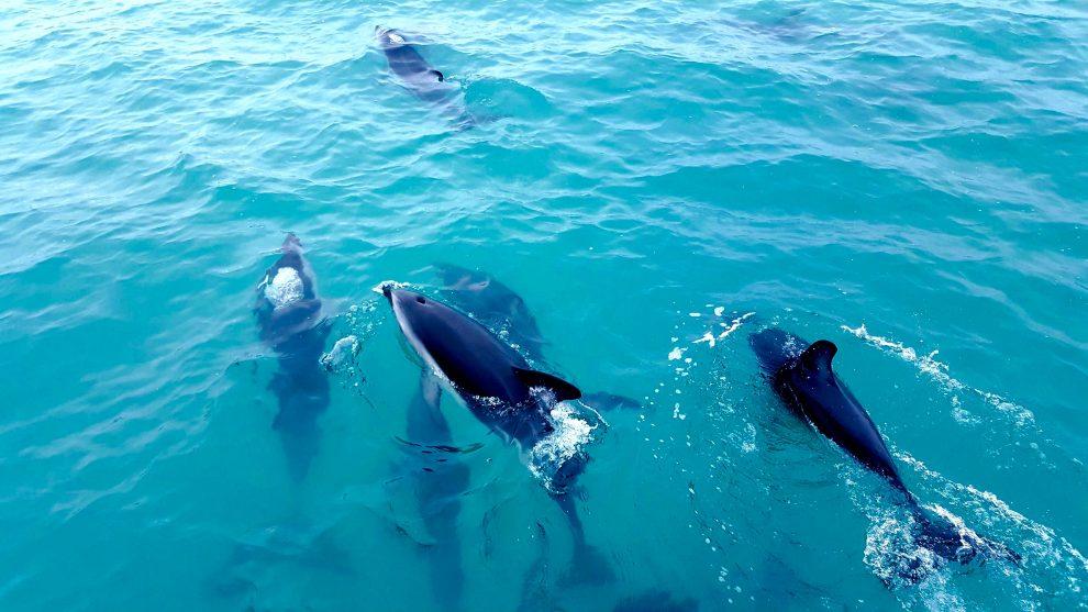 dauphins en nouvelle-zélande